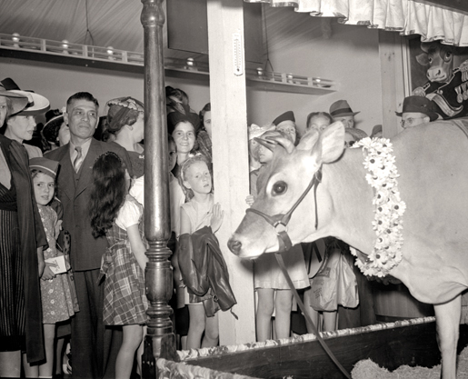 Elsie the cow at the CNE, 1941. [PHOTO: ARCHIVES OF ONTARIO—C 5-1-0-34-9]
