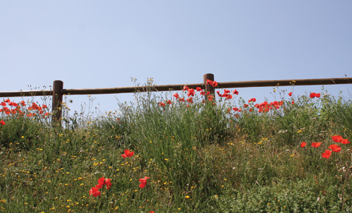 Poppies blow along a fenceline in Normandy. [PHOTO: SHARON ADAMS, LEGION MAGAZINE]