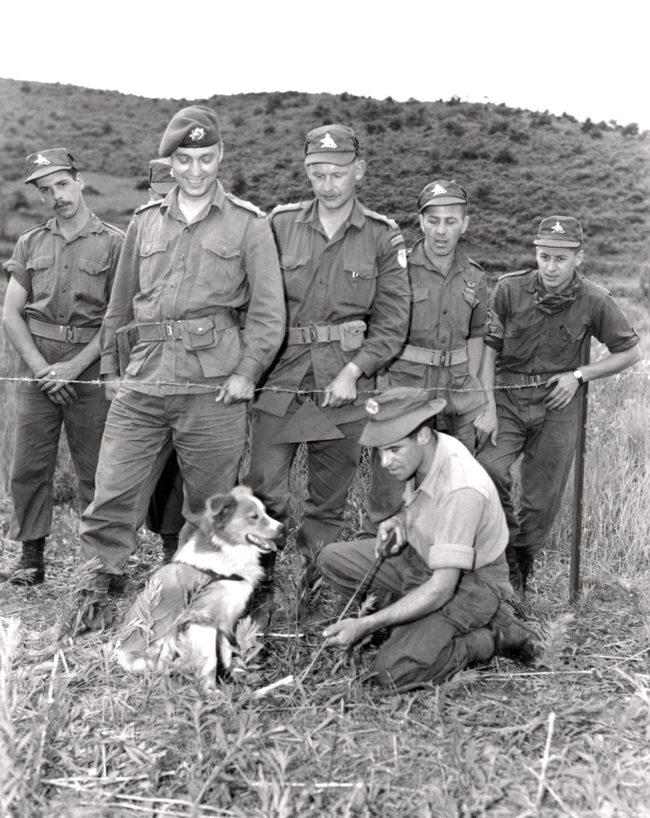 Historic Korean War Photo – A Dog Capable Of Detecting Landmines